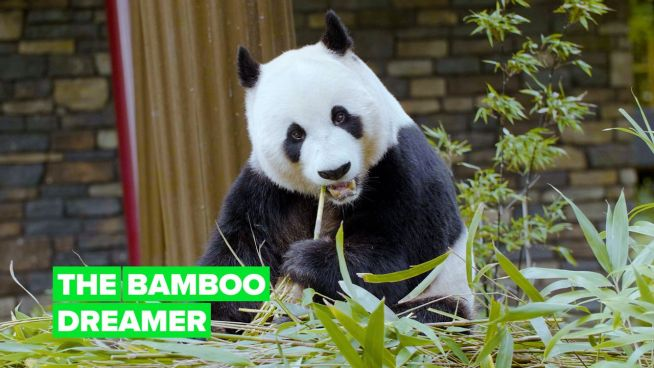 The bamboo dreamer